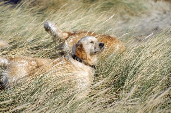 Wet golden retrievers playing in tall grass field