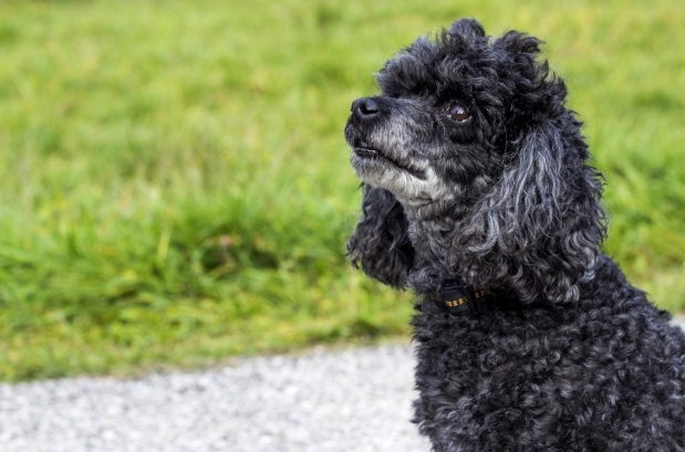 Best service dog breeds includes poodles