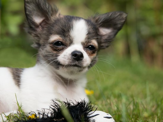Chihuahua about to sneeze while laying in the lawn