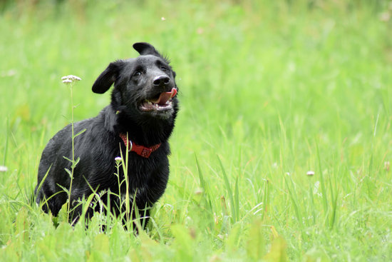 Black dog with a red collar running through tall grass with flowers around