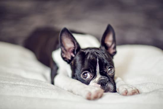 Boston terrier stretching out on a fluffy white blanket