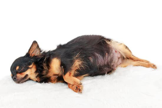 Pregnant Chihuahua laying on its side
