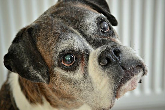 Old Boxer with Hip Dysplasia