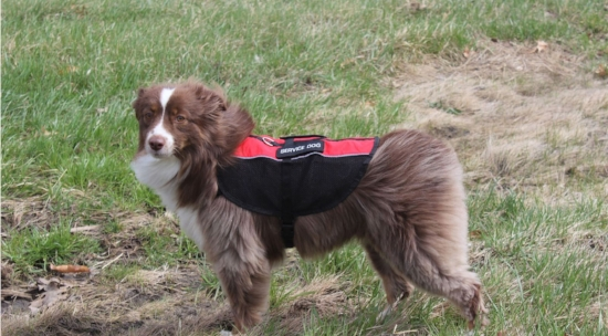 Aussie service dog in the wind