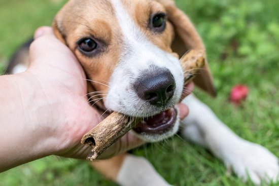 Beagle being pet while chewing on a stick