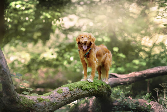 Golden dog standing on a large mossy tree branch in a forest