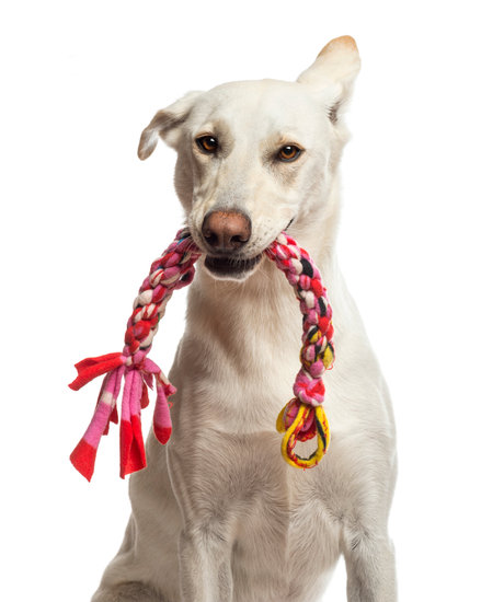 white dog with a pink braided dog toy