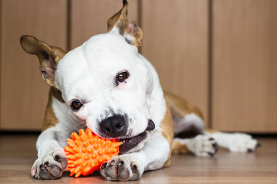 brown and white dog chewing on orange toy