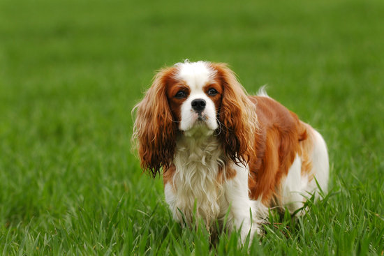 Cavalier King Charles Spaniel in a field of grass