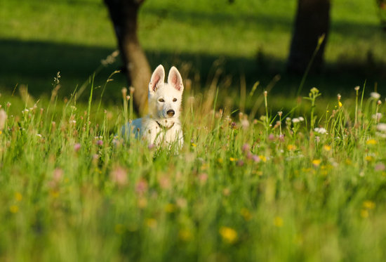 White Pointy Eared Girl Dog In A Field Of Flowers