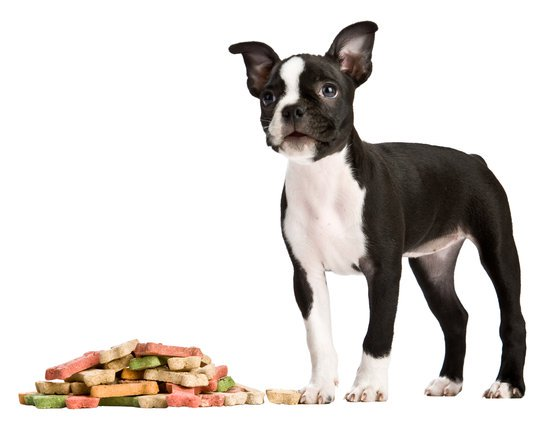 Boston Terrier Puppy With A Pile Of Bones Next To Him