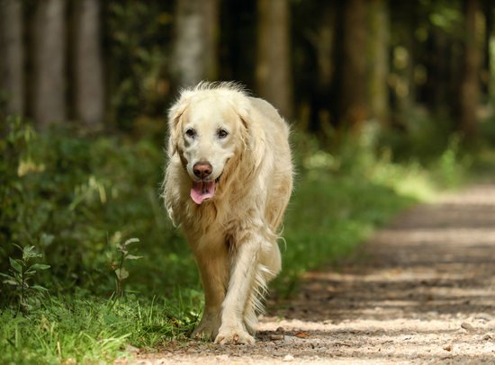 Golden retriever looking tired on a walk