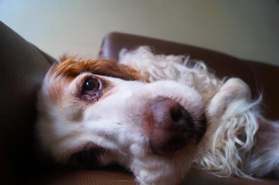 dog sleep apnea