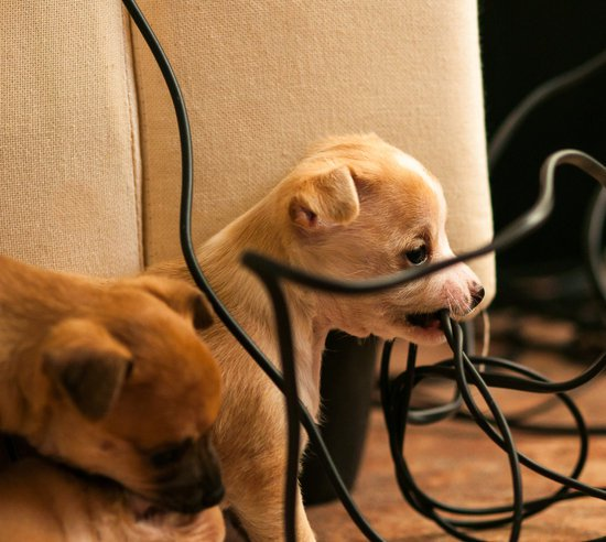 small beige puppy chewing on cord