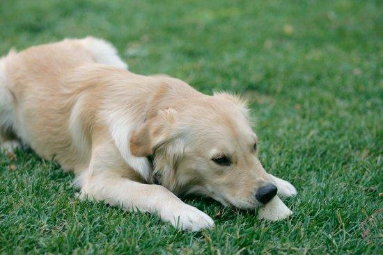 Golden retriever nibbling in a green grass lawn