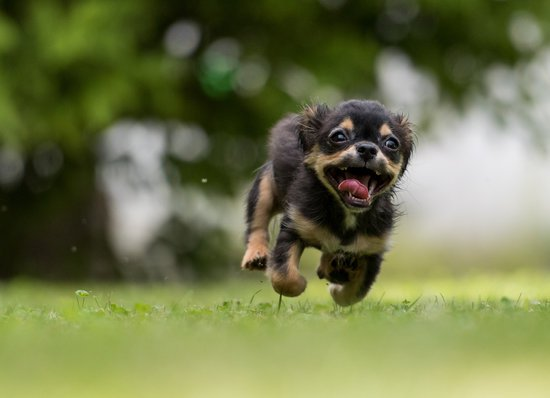 excited black chihuahua puppy running on grass