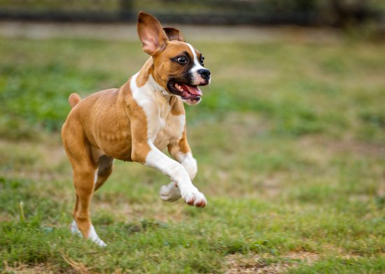 Boxer jumping in a field of grass