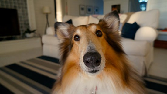 Lassie Dog In A Living Room Looking At The Camera