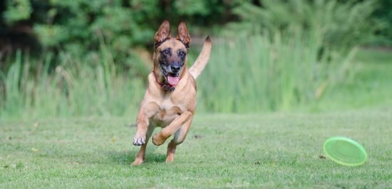 Belgian Malinois is one of the best police dog breeds