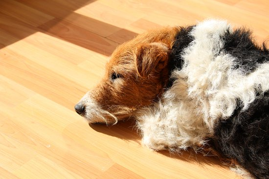 Wiry haired dog laying in the sun on a hard wood floor