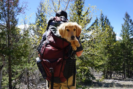 Young Golden Retriever In A Backpack On A Hike In The Woods