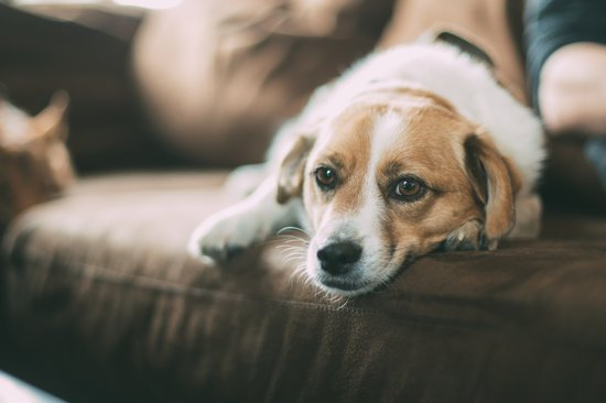 PTSD in dogs