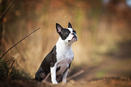 Majestic Boston terrier looking into the distance in front of dead brush