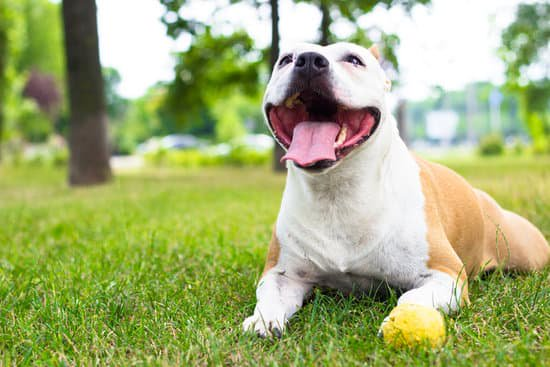 Happy pit bull playing with a yellow ball in the park