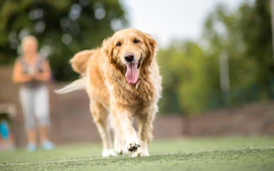 Golden retriever playing in the dog park