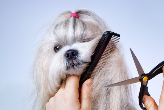 Small White Dog Getting Its Hair Cut