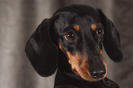 Black and brown Dachshund looking nervous past the camera