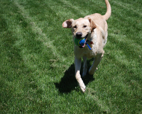 Yellow Lab Playing Fetch With A Blue Ball on Turmeric For Dogs