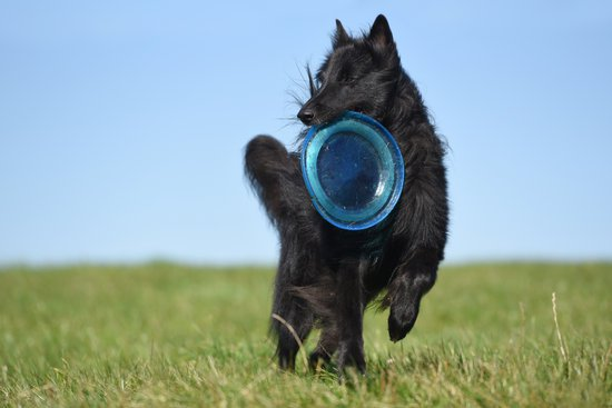 Long Haired Black Dog Playing In Grass With A Blue Frisbee