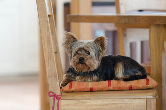 Small dog breeds for apartments