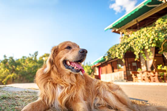 Golden retriever panting on a sunny day
