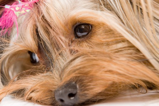 Girl Dog Names for a Yorkie with a pink bow