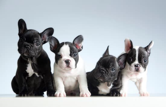 Group of french bulldogs