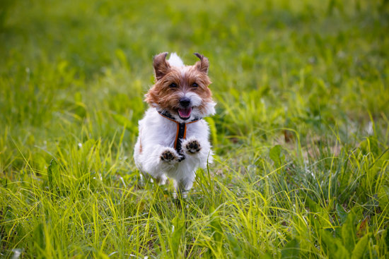 Small brown and white dog jumping through a grass field