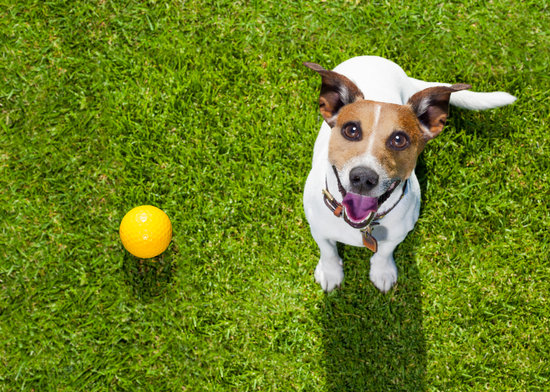 Terrier looking up at the camera with a yellow ball in a lawn