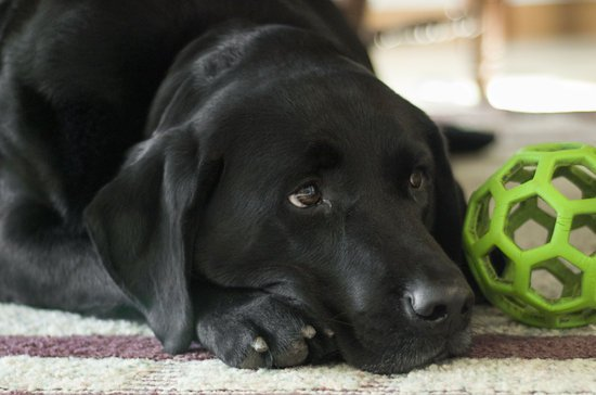 Black Lab Laying on carpet next to a toy