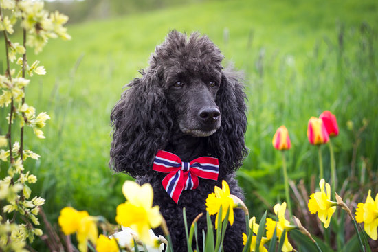 Black Poodle with a bow standing next to the flower garden
