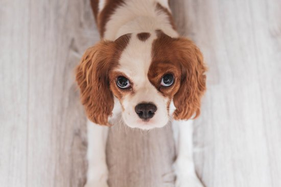 Caviler King Charles Spaniel laying on the hard wood floor