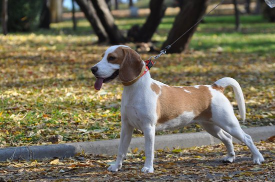 Beagles make great tracking police dogs
