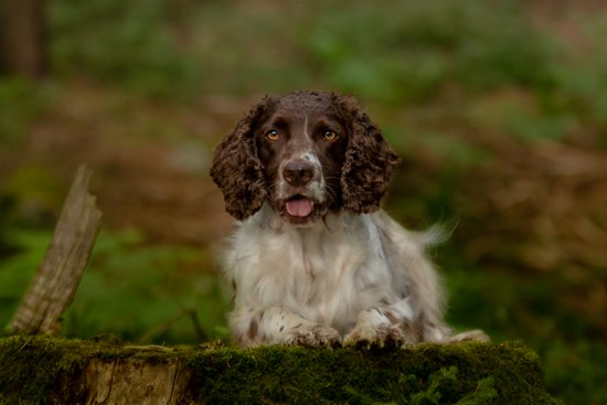 Water Spaniel On A Mossy Log with its tongue out