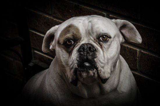 Bulldog with chronic hip dysplasia