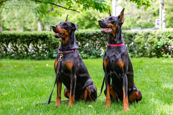 Doberman Pinschers sitting in grass in front of a bush