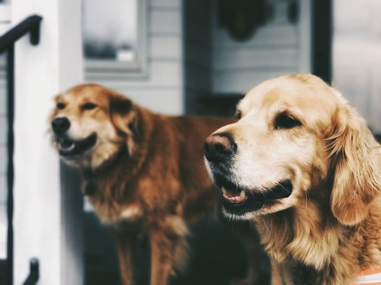 Two golden retrievers sitting at the top of porch steps