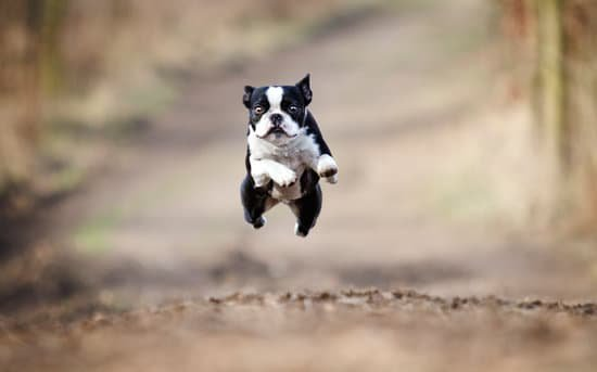 Boston terrier jumping on a dirt trail