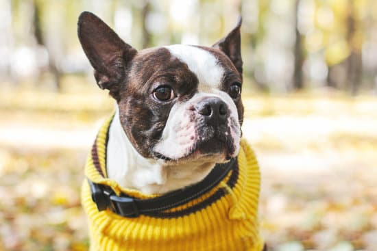 Boston terrier wearing a yellow sweater