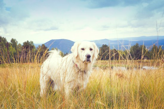 Golden Retriever Standing in a field in front of mountains